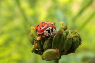180810 ladybirds on wild parsnip (13)