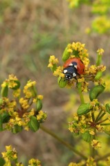 180810 ladybirds on wild parsnip (14)