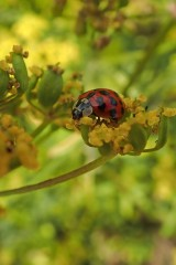 180810 ladybirds on wild parsnip (2)