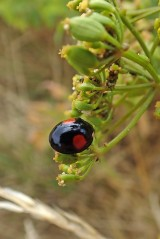 180810 ladybirds on wild parsnip (3)