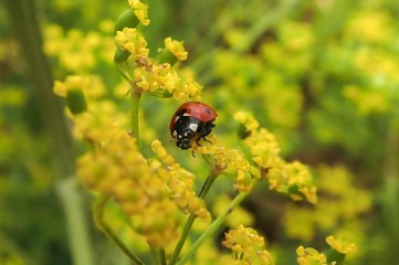 180810 ladybirds on wild parsnip (4)