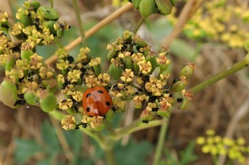 180810 ladybirds on wild parsnip (5)