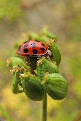 180810 ladybirds on wild parsnip (6)