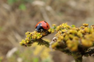 180810 ladybirds on wild parsnip (8)