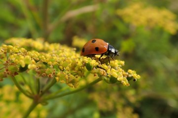 180810 ladybirds on wild parsnip (9)