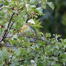180811 1 willow warbler