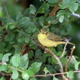 180811 2 willow warbler