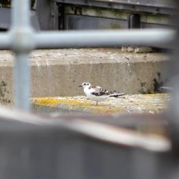 180811 6 little gull