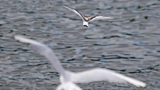 180811 9 little gull being chased