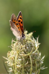180812 small copper (1)