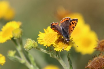 180812 small copper (2)