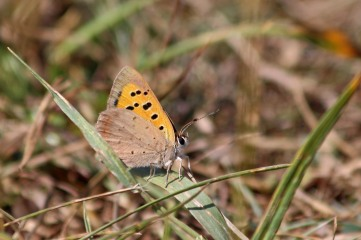 180812 small copper (3)