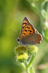 180812 small copper (4)