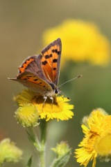 180812 small copper (5)