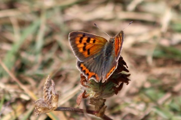 180812 small copper (6)