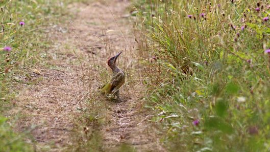 180813 Green woodpecker (1)