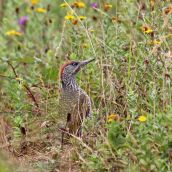 180813 Green woodpecker (4)
