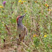 180813 Green woodpecker (5)