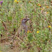 180813 Green woodpecker (6)