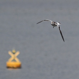 180815 Little gull (4)