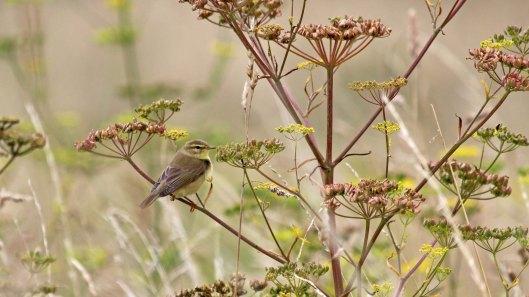 180815 willow warbler (1)