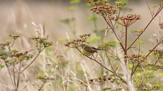 180815 willow warbler (2)