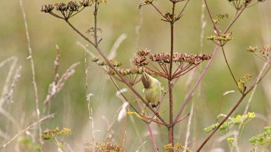 180815 willow warbler (3)