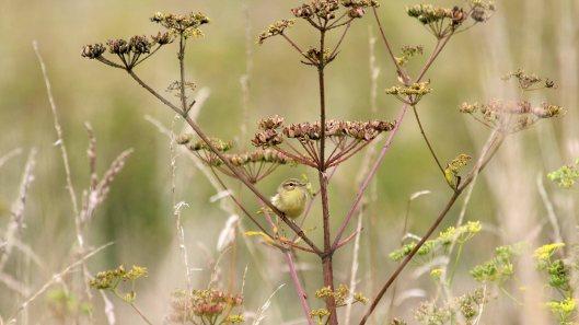 180815 willow warbler (4)