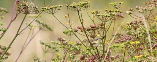 180815 willow warbler (5)