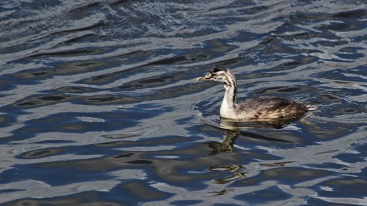 180818 great crested grebe (1)