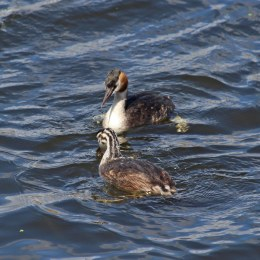 180818 great crested grebe (10)