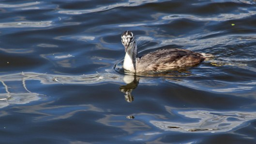 180818 great crested grebe (11)