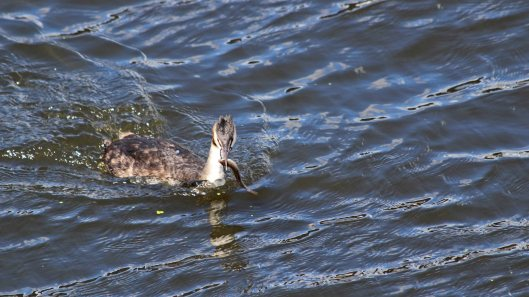 180818 great crested grebe (2)