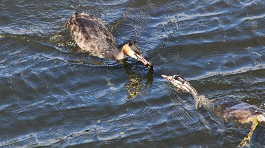 180818 great crested grebe (3)
