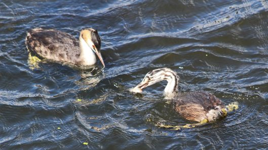 180818 great crested grebe (5)