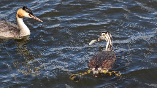 180818 great crested grebe (6)