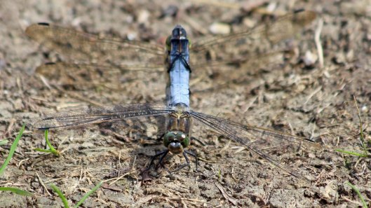 180821 black-tailed skimmers