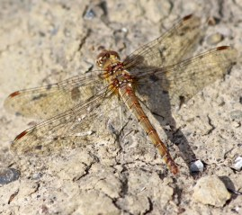 180821 Common darter female