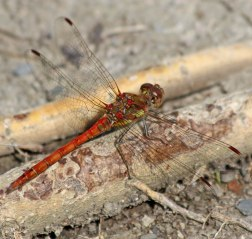 180821 Common darter male