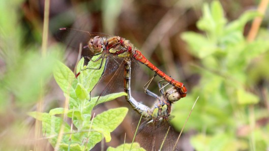 180821 Common darters mating