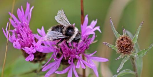 180824 bumblebee (1)