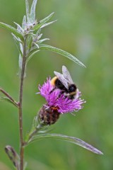 180824 bumblebee (3)