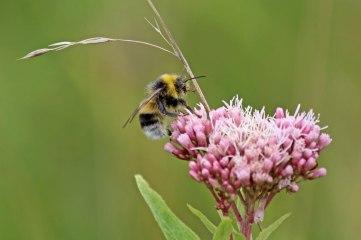 180824 bumblebee (4)