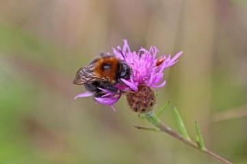 180824 bumblebee (5)