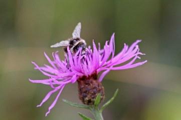 180824 bumblebee (8)