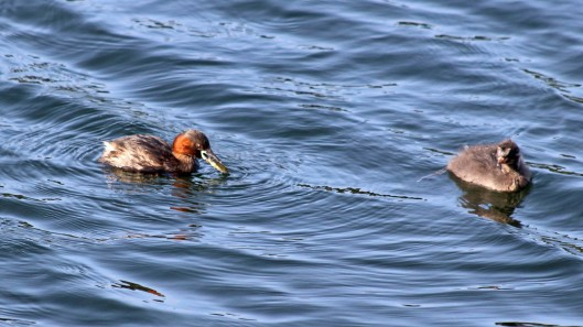 180825 Little grebes (3)