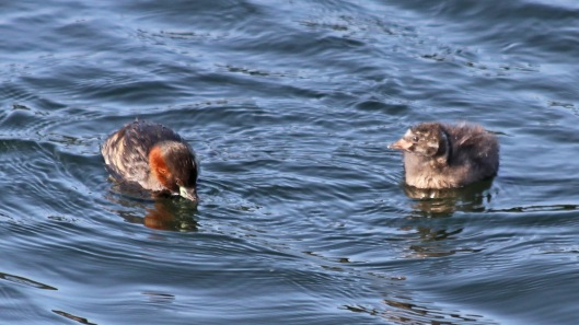180825 Little grebes (4)