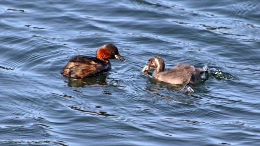 180825 Little grebes (5)
