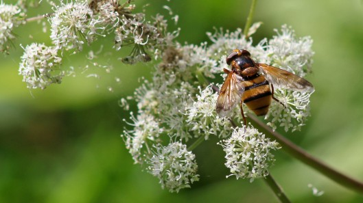 180826 Volucella zonaria (4)