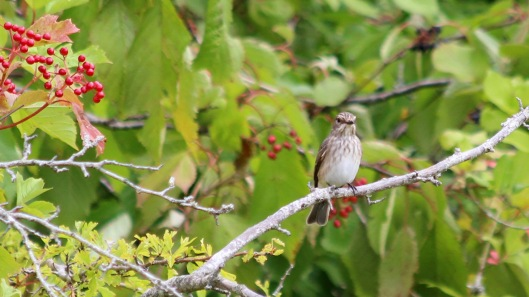 180827 spotted flycatcher (1)